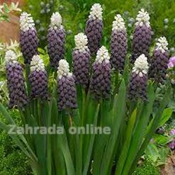 Muscari Latifolium Grape Ice