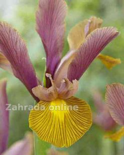 Iris Hollandica Lion King