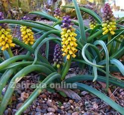 Modřenec - Muscari macrocarpum GOlden Fragrance